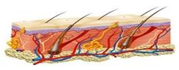 L'épiderme et le système pilaire